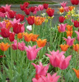 Queen Wilhelmina Tulip Garden: To experience a brightly colored extravaganza of color, the tulips and other blooms at the Queen Wihelmina Tulip Garden #tulips #flowers #garden