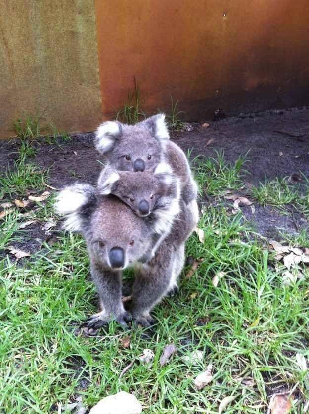 These guys, sticking together.  So many koalas!!!
