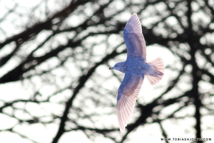 Iceland Gull 2 by tobias hjorth