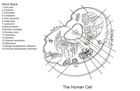 Human Cell Worksheet Coloring page | Science | Animal cell ...