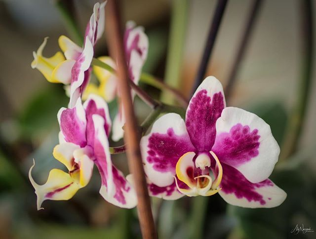 White And Purple Orchid Flower Closeup Orchid Nature Plant Flower Floral Storieswithaly Photographer Ma Orchid Flower Beautiful Flowers Purple Orchids