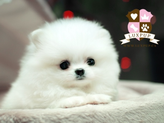 luv… pure luv: Leetl Meelk, Animal Pictures, Dogs Galor, Leetl Mustache, Awww Recut, Pomeranians Puppeh, White Pomeranians, Cutest Puppies, Pom Pom