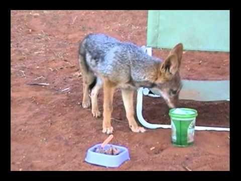 Jackal pups up to mischief.  video clip from the movie book Kalahari Dream www.kalahari-dream.com