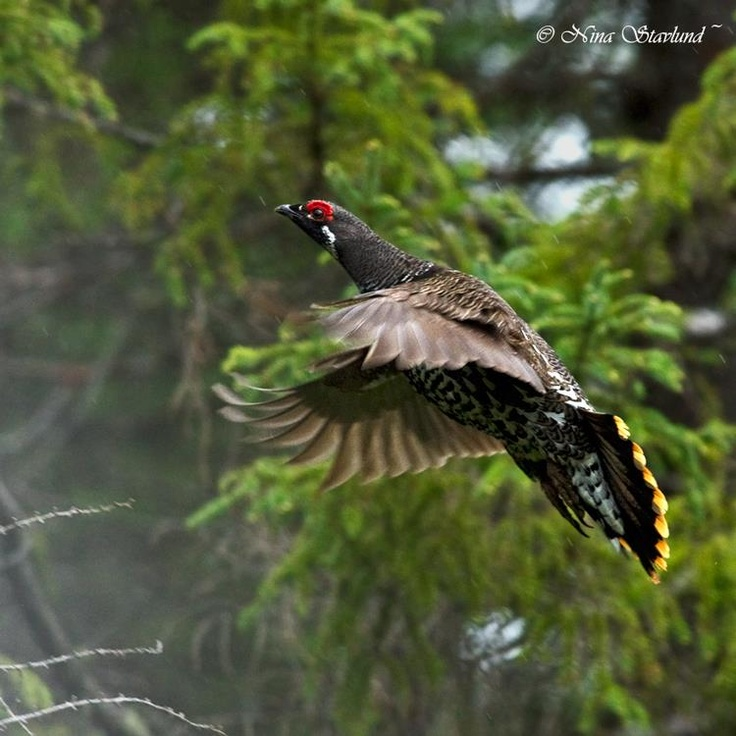 Spruce Grouse - Algonquin park, Canada