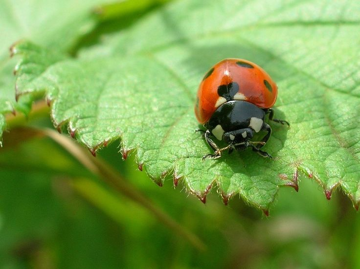 Learn why ladybugs are invading and what you can do about it! http://www.frankieflowers.com/ladybugs-everywhere