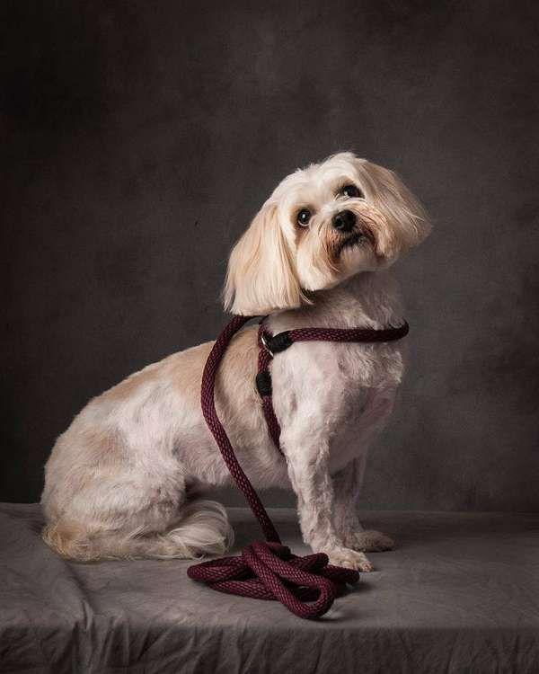 Harness Lead - Hundeleine Leinenzieher für kleine Hunde