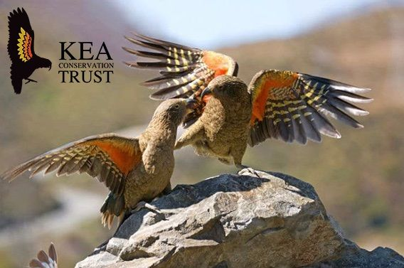 We've been given the chance to name our own kea bird, by the Kea Conservation Trust. We support the KCT in their work to protect these awesome birds. We've made a poll with a shortlist of our favourite names, so follow the pin link to vote now for your favourite!   #kea #newzealand #wildlife #destinationnz #purenz #activeadventures #milfordsound