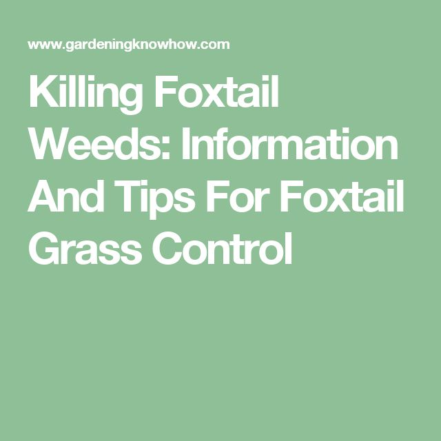 Killing Foxtail Weeds: Information And Tips For Foxtail Grass Control
