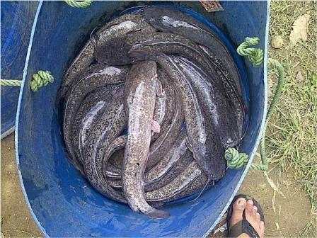 Ikan lele memiliki khasiat yang luar biasa. Mudah ditemukan dimana mana dan enak rasanya.