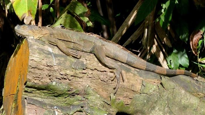 Un  iguane vert se prélasse au soleil, Parc National de Tortuguero, Costa Rica