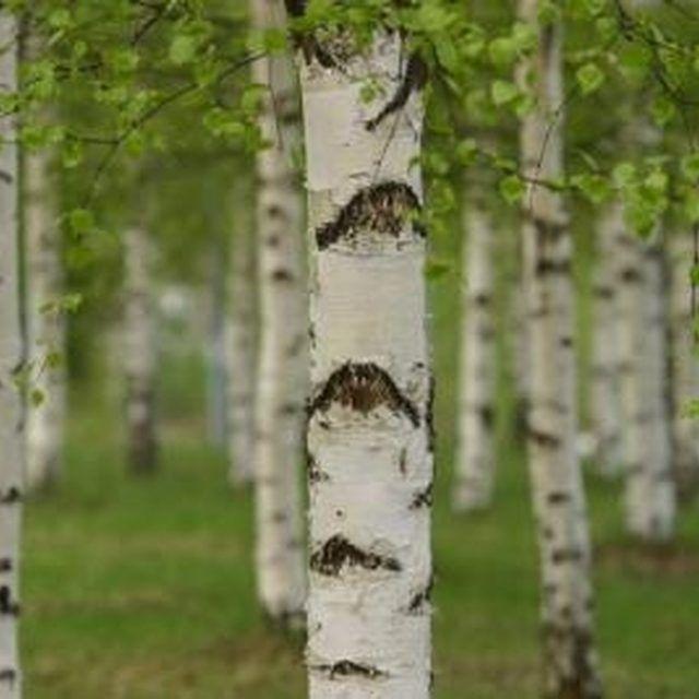 how to grow birch trees