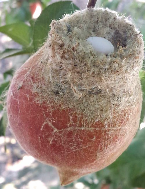 Hummingbird nest on a peach