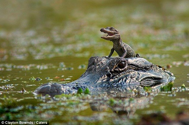 A baby alligator sits on his mother's head as she swims at Brazos Bend State Park in Texas
