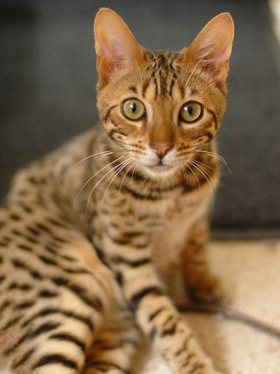 A Bengal Cats Personality 25+ best ideas ...