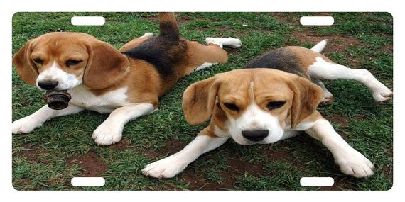 Beagles Custom License Plate Canine Emblem Version Cute