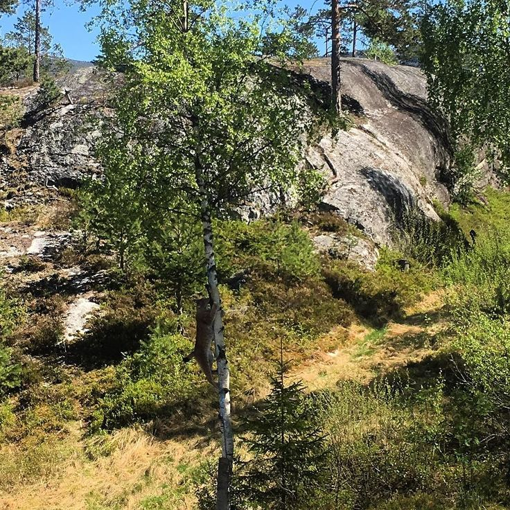 #gaupe #lynx #norge #norway #bjørneparken #flå #hallingdal #vassfaret #nature #summer #forest #blue #sky #wildlife #norges_fotografer #norgefoto #igdaily #bestofnorway #nortrip #ilovenorway #ilovescandinavia #dramatic #predator #sky #landscape #landscapesofnorway by kaoskonstruksjon
