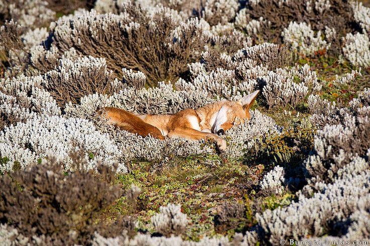 Ethiopian wolf (Canis simensis) by Will Burrard-Lucas