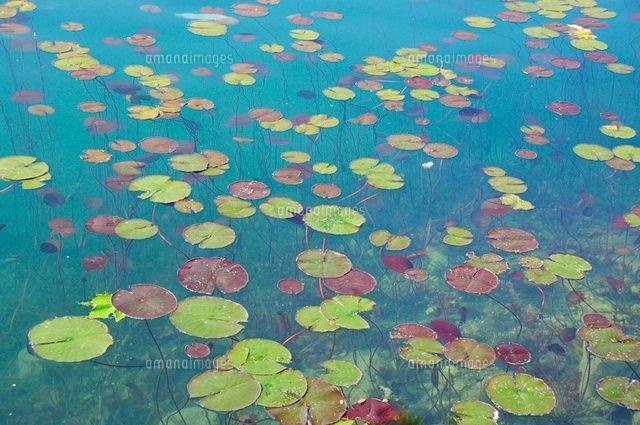 ブレッド湖の蓮の葉 (c)MIYAKO/a.collectionRF