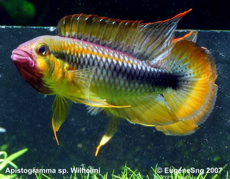 "Apistogramma sp. ""Wilhelmi"" (Abacaxis) - ~2.5-3"", rare South American dwarf cichlid. Apparently not all specimens will develop the purple chin. Agassizi complex"