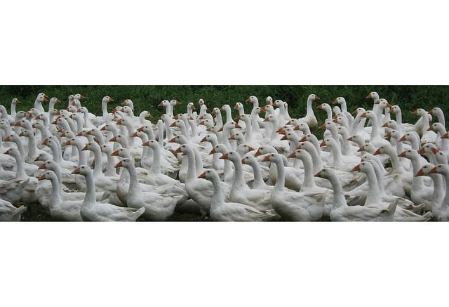 Geese, Farm, Poultry, Animals, white, free-range Free Image on Pixabay