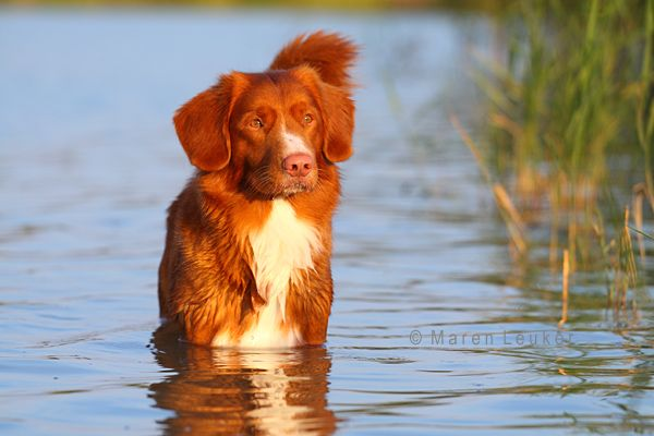 Nova Scotia Duck Tolling Retriever ... said no dog I ever had (standing happily in water)  @Molly Simon