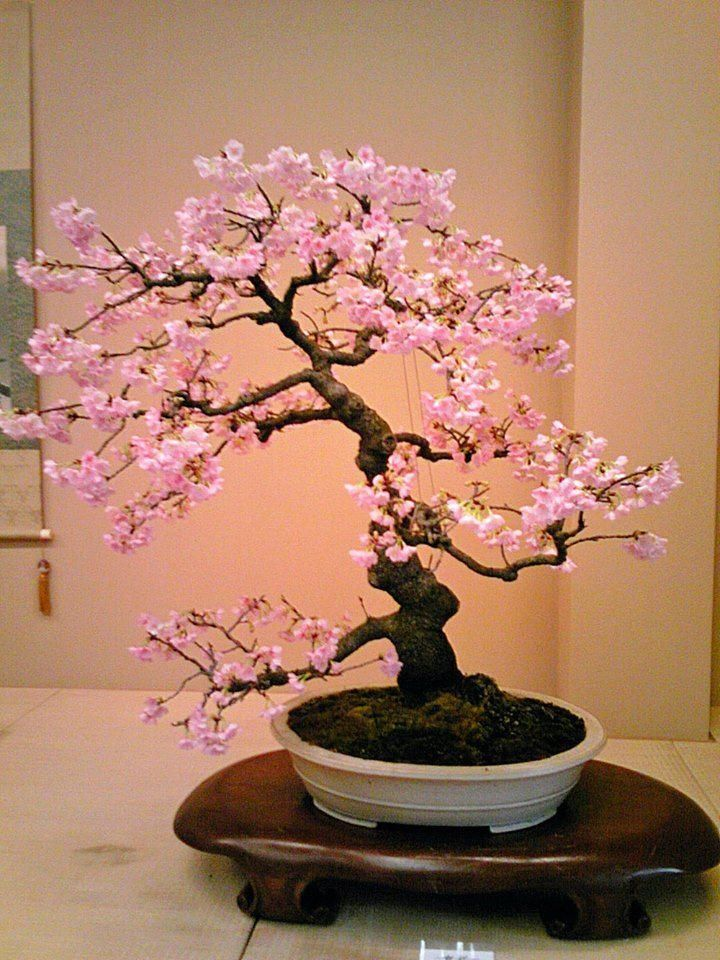 Lovely Pink Bonsai Japanese Bonsai Tree Cherry Blossom Bonsai Tree Indoor Bonsai Tree