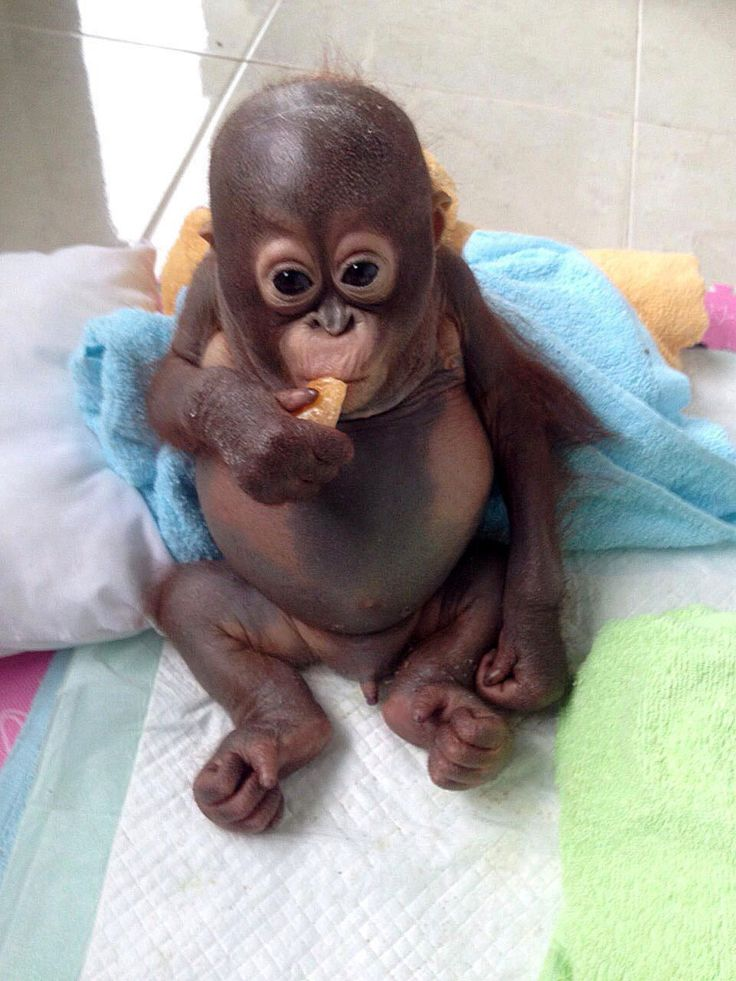 Severely neglected baby orangutan being nursed back to health by International Animal Rescue, Indonesia - 09 Jan 2015