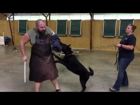 "(7) Black German Female German Shepherd ""Darla"" 2 Yrs Protection Obedience Trained Dog For Sale - YouTube"