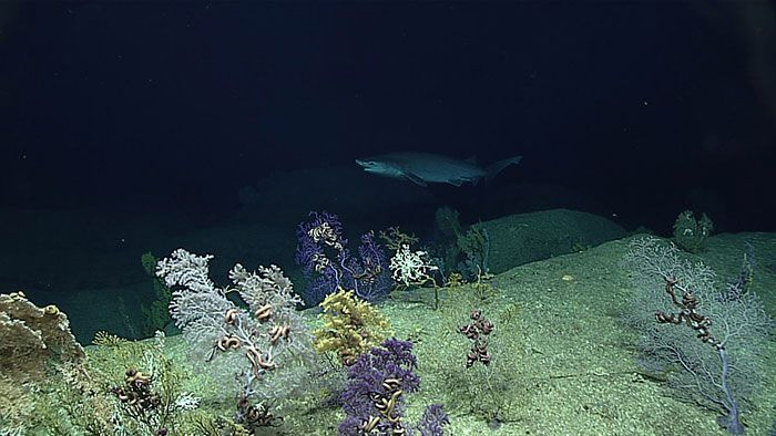 A six gill shark paid us a visit, and even stuck around for a minute. Note the high diversity of coral species in the foreground. Look closely, and you can see brittle starfish hiding in in the corals.