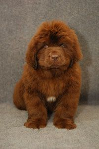 Black Newfies are cool, Landseer News are adorable...but I'll take a brown one please - and his name shall be BentleyBear!