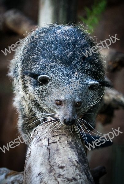 Perth Zoo's new binturong Rabu venture out into his new enclosure. Picture: Mogens Johansen, The West Australian
