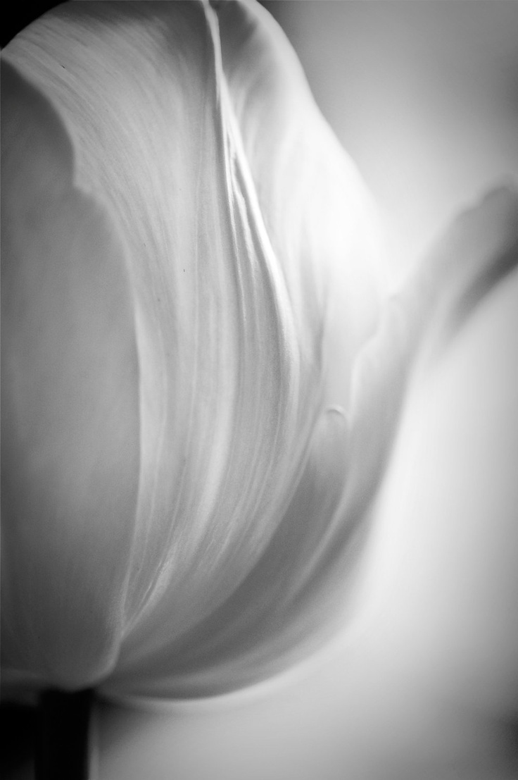 Vous et Nul Autre, fine art nature photography, black & white, tulip, macro. $40.00, via Etsy.