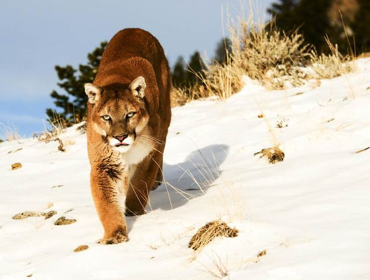 what to do if you get attacked by a Mountain lion (very rare)