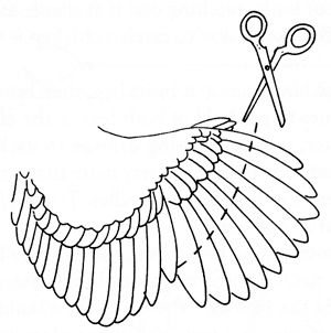 How to clip a chicken's wings (so they don't fly over your fence).