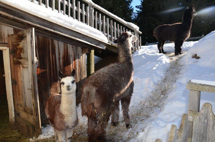 Unsere Tina ist ja soooo süß... =) =)  Cute alpaca..... =) =)   www.hotel-tirler.com