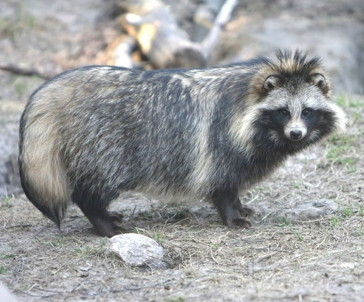 NAME: Raccoon Dog (Nyctereutes procyonoides)  CLASS: Mammals  ORDER: Carnivorous  FAMILY: Canid  SIZE: 50 to 60 cm, 40 to 50 cm at the withers.  WEIGHT: 4 to 10 kg  LIFE: 7 to 14 years  DISTRIBUTION: Asia, Europe.  HABITAT: Edges of forest, the woods, marshes, reed beds ....  FOOD: Omnivore: Rodents, fish, insects, eggs, reptiles ....    PREDATORS: Lynx, wolves, wolverines, dogs, martens