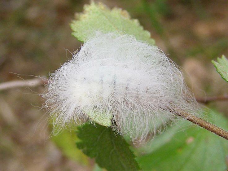 hoolawhoop: flannel moth caterpillars