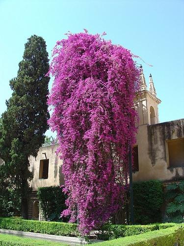 Flowers Bouganvillea Siviglia Spagna by felix cat 46, via Flickr