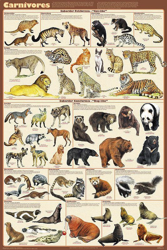 "Carnivorous Animals Poster 24x36 by Feenixx Publishing The name of this order / clade came from the word carnivore, which means ""meat-eating."" Although this is generally true, the notable exception if"
