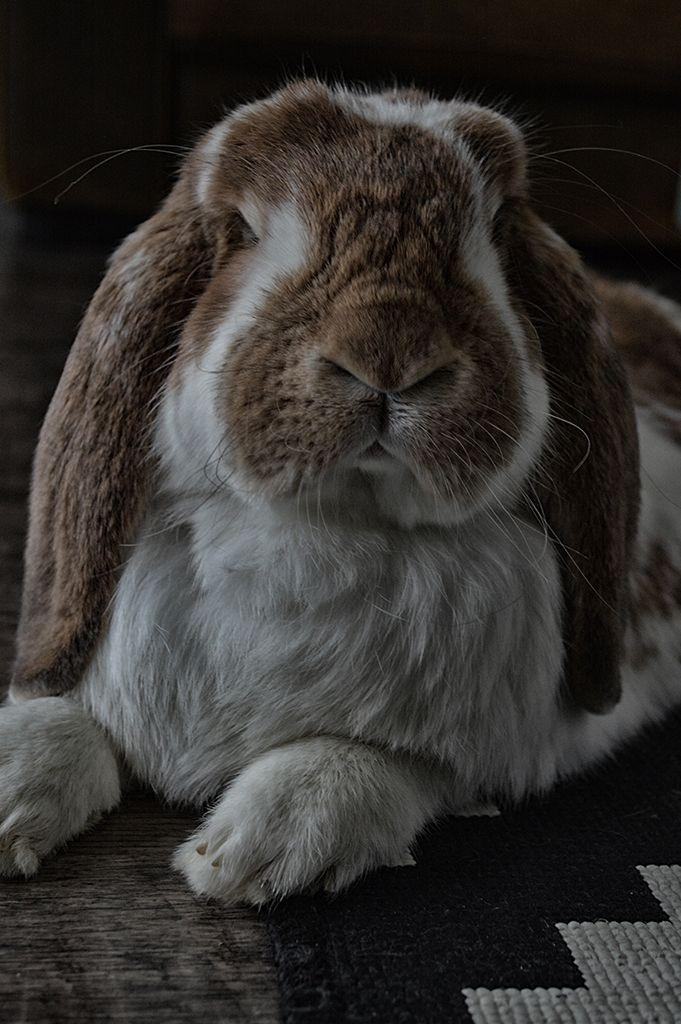 French lop bunny Bo :) http://nikaephotography.wordpress.com/