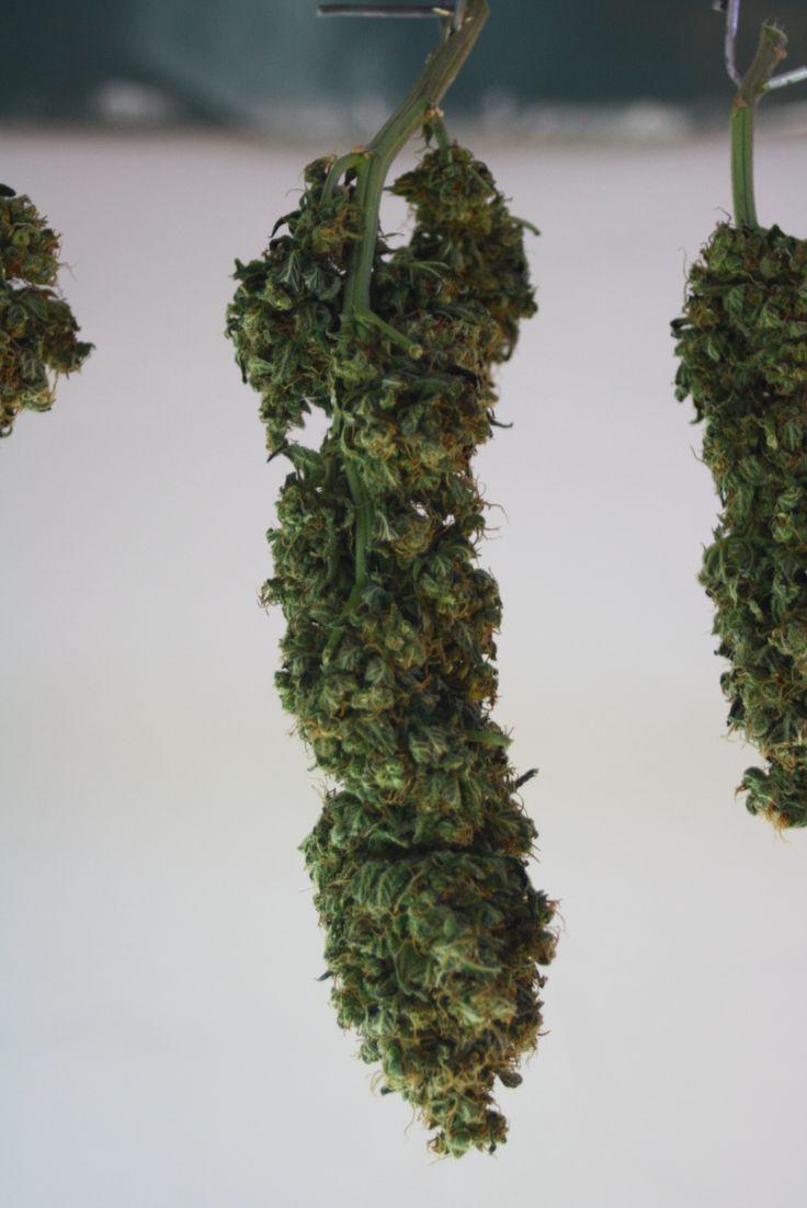 Marijuana Grow 2015 - 30th September 2015 Harvest, drying and getting bud ready   Happy Days......