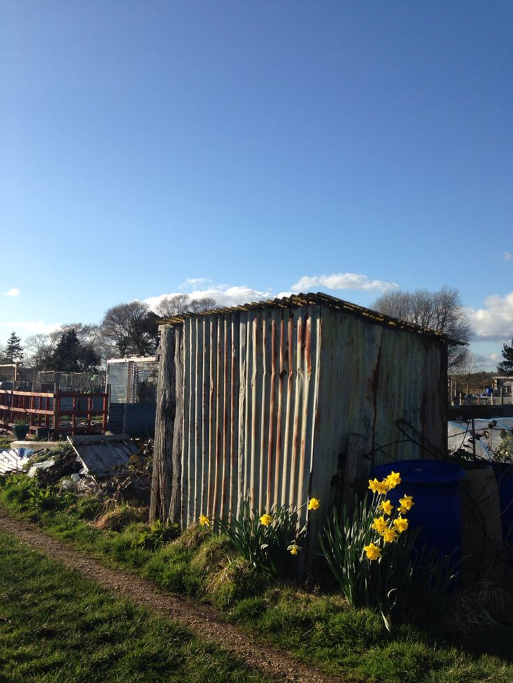 The gardener's shed on the New Forest allotment waits for weekend opening; daffodils grace it's years of use and it's view is the undulations of the wilderness beyond, dotted with grazing ponies. #shed #iron #spring #gardening #sky #sunshine #allotment #morning #weekend #hobby #daffodils #flowers #beautiful #corrugated #newforest  #bucolic #beautiful #pastoral #view #scene #english #romance