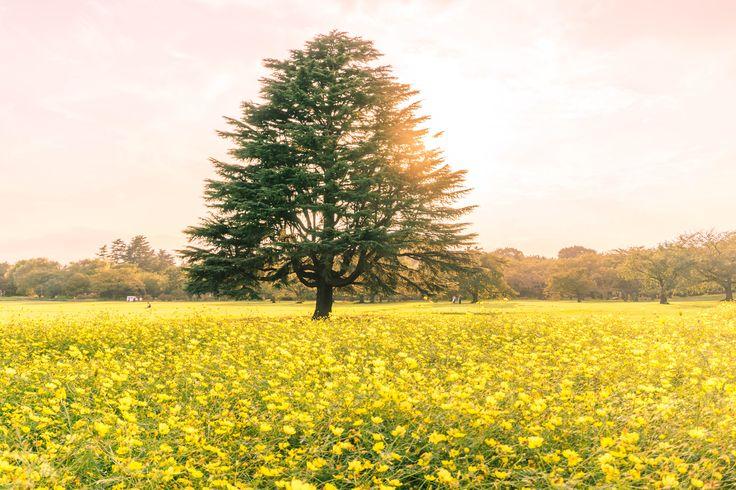 国営昭和記念公園 Showa memorial park   #日本 #japon #sunset #japan #tree #arbol #sol #sun #太陽 #yellow #金色 #amarillo #flowers #flores #花 #nature #naturaleza #自然 #カメラ #sony #a5100 #写真好きな人と繋がりたい #木 #foto #写真 #picture #photo #photography #green #verde