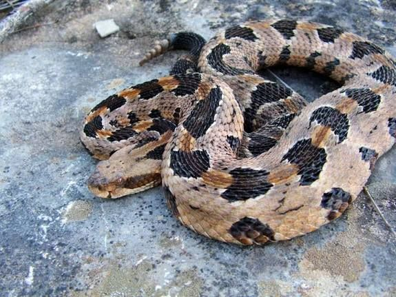 """Timber rattlesnake/PROTECTED/ Location- SW Wisconsin in rugged open bluffs/ Length: 36-56"""" **Poisonous:"""