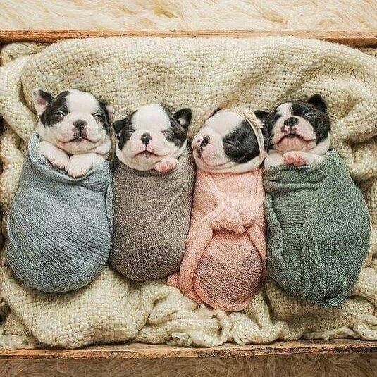 """2,264 Likes, 24 Comments - HAPPY FRENCHIES FULL OF LOVE (@ig_bullys) on Instagram: """" OMG, SO CUTE  ➡️ photo by: unknown, please dm me ‼️tag #ig_bullys for the chance to be featured‼️"""""""