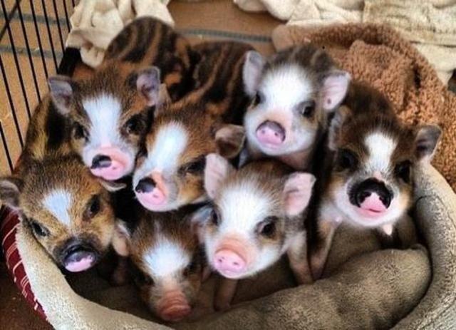 Son seis especies comunes de cerdos miniatura