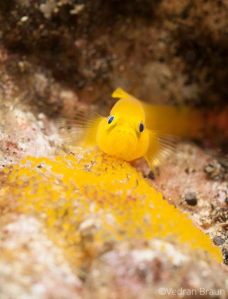 My eggs are just as colorful as I am.   Ornate pygmy goby - Photo by Vedran Braun (Stanka Mirak Braun)