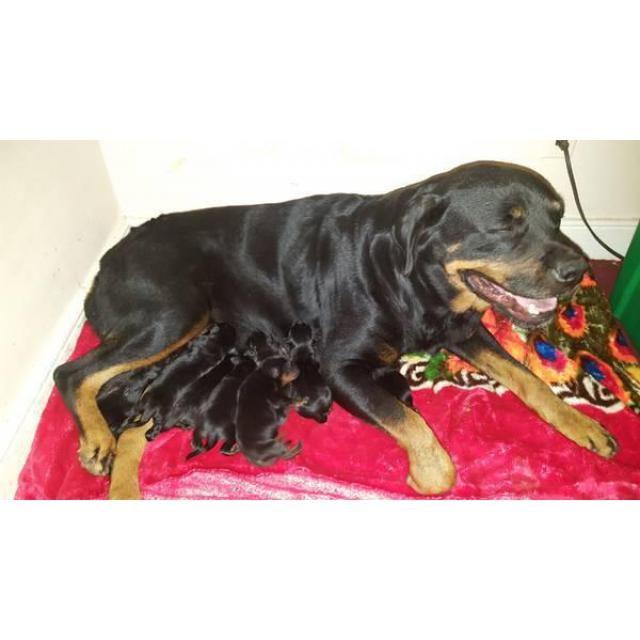 Rottweiler Richmond Purebred German Rottweiler Puppies Just Born