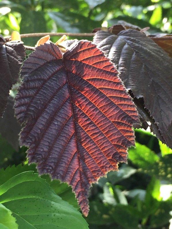 Effets de transparences #arbre #noisetier #soleil #printemps #jardin http://www.pariscotejardin.fr/2017/04/effet-de-transparences/