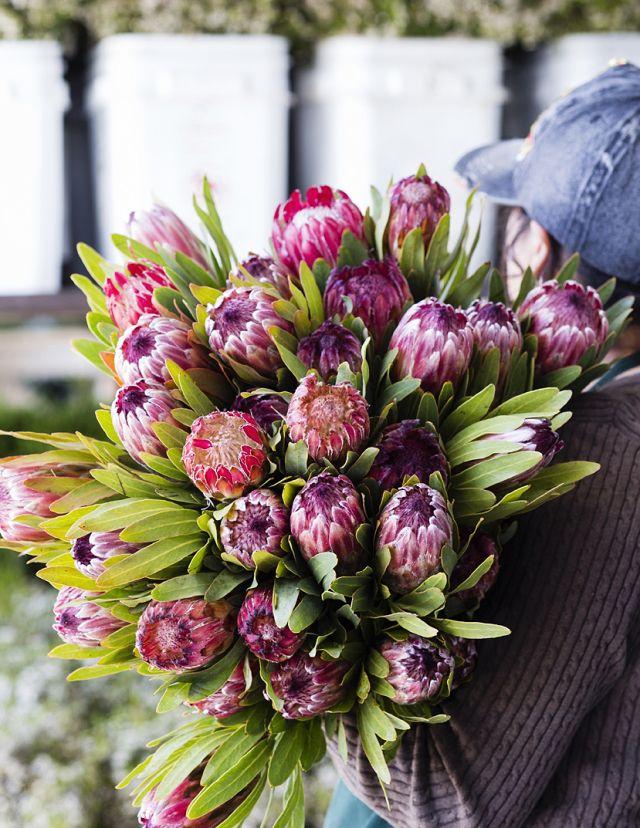 Protea harvest time